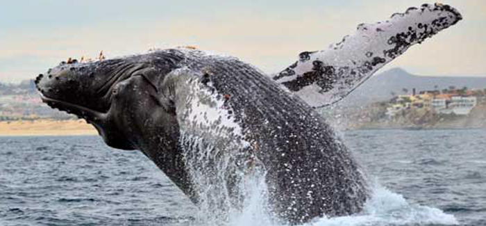 Cabo Escape Whale Watching Cruise