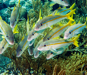 Yellow Goatfish and Yellowtail Snapper