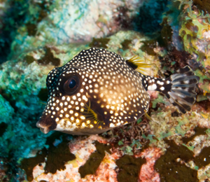The Amazing White Spotted Filefish