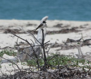 Fork-Tailed Flycatcher Seen in The Dry Tortugas