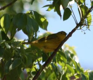 Beautiful Warblers show up at the Dry Tortugas