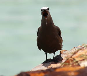 The Brown Noddy Population at the Dry Tortugas