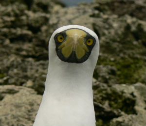 The Masked Booby at Fort Je