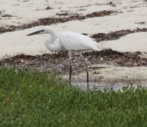 Great White Heron at Fort Jefferson