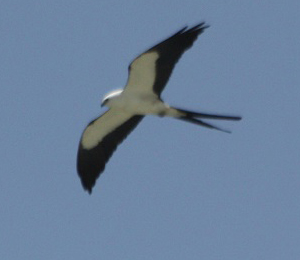 Swallow-Tailed Kite visits Fort Jefferson