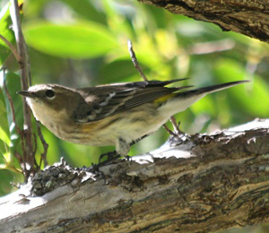 Song Birds Seen in November