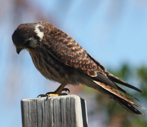 American Kestrel Hangs Around the Camp Grounds