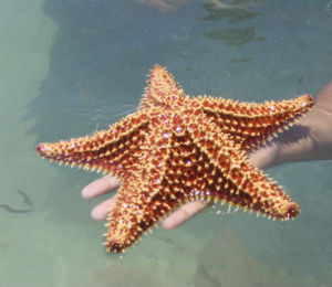 Starfish of Key West