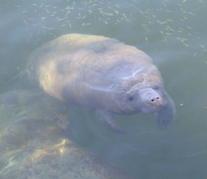 Manatees in Key West