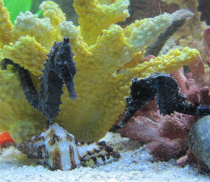 See the Sea Horses of Key West
