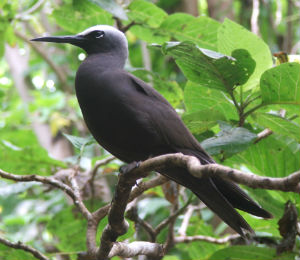 The Black Noddy
