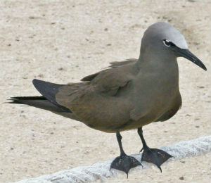Brown Noddy and Key West Bird Watching