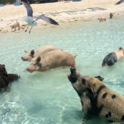 Exuma And Swimming Pigs Adventure
