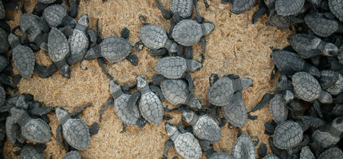 Outfitters Turtle Release