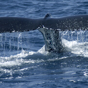 Caborey Whale Watching Tour