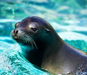 Sea Lion Dive In Las Caletas