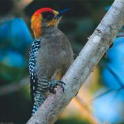 Sierra del Vallejo Birding Tour