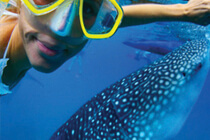 Whale Shark Encounter & Snorkel